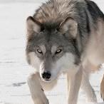 Wolf187